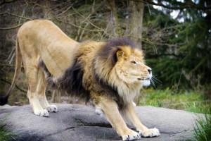 lion-strech-1